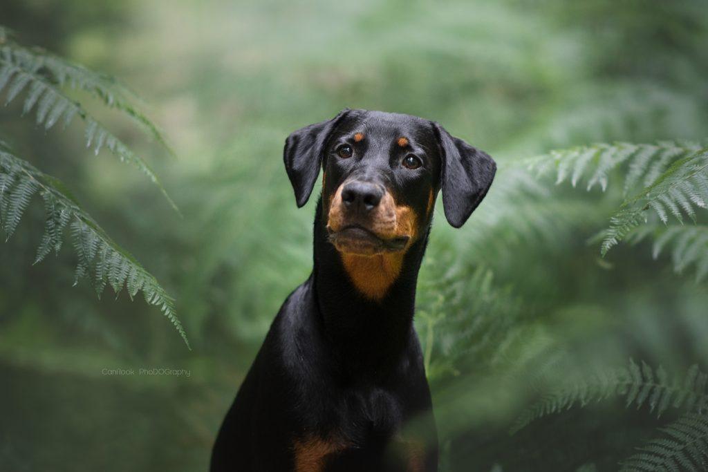 Chien photographe canin portrait cani look dobermann concentration fougeres vert