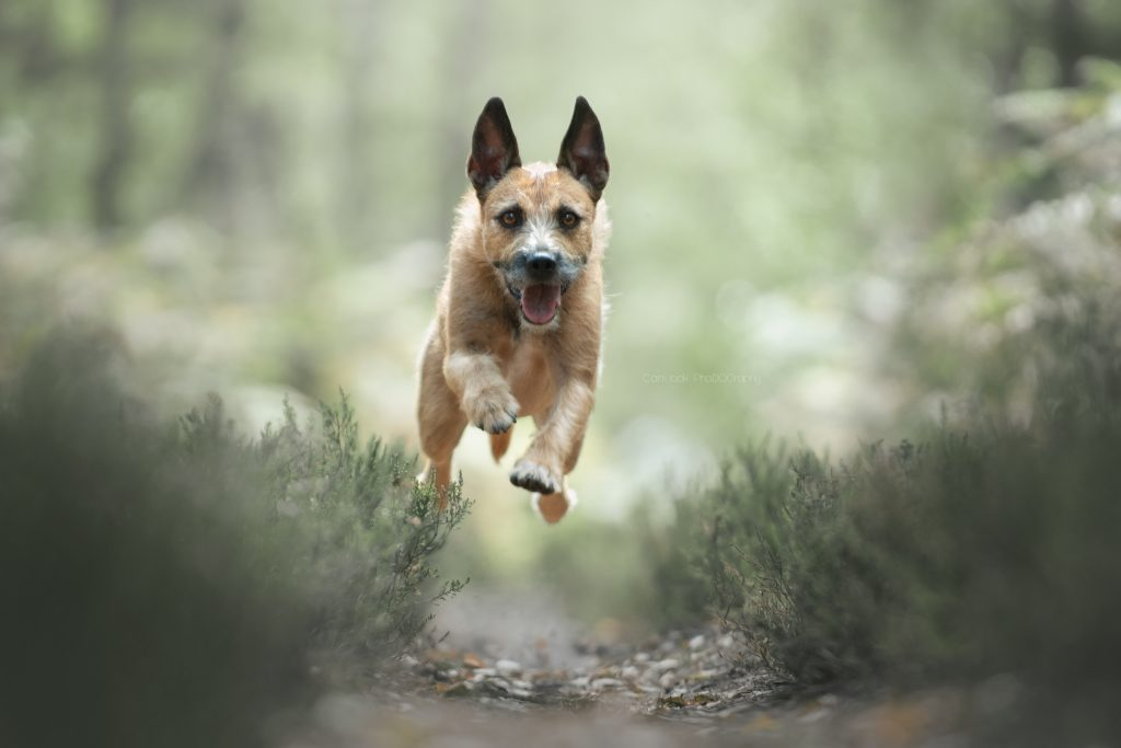 action chien malinois court foret cani look photographe canin yvelines chien