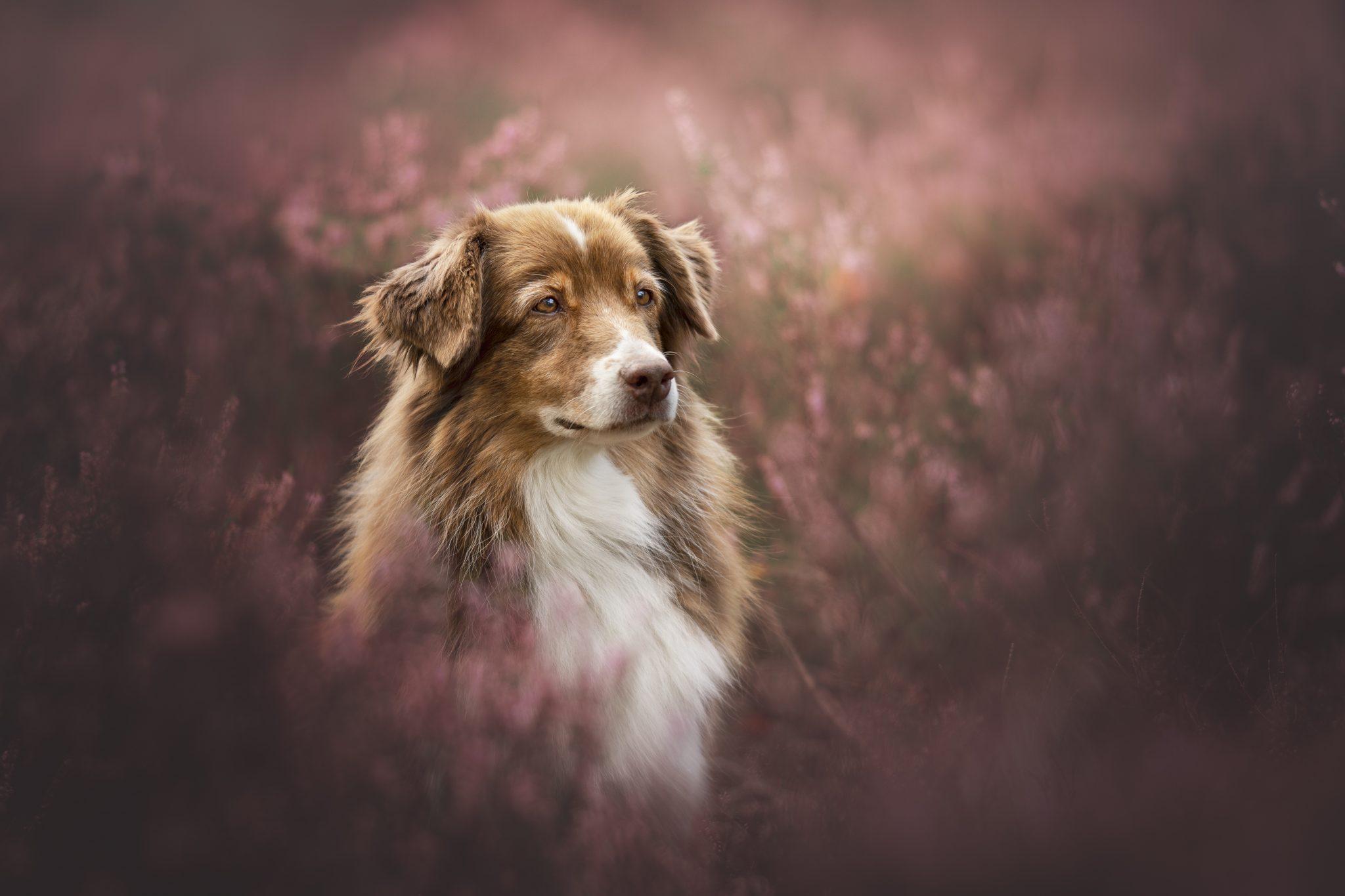 bruyères cani'look phodography chien berger australien yvelines photographe