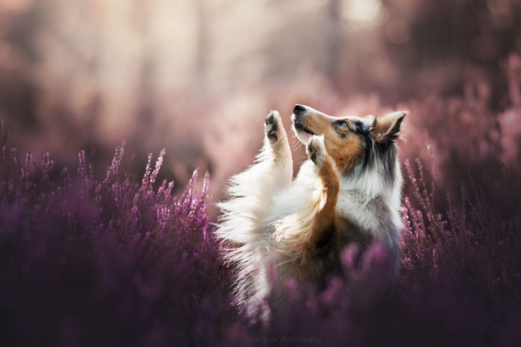 Chien photographe canin portrait cani look shetland bruyeres foret rose
