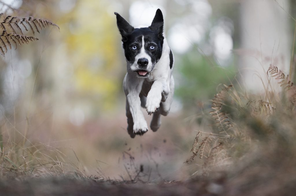Chien action foret course border collie husky photographe canin cani look