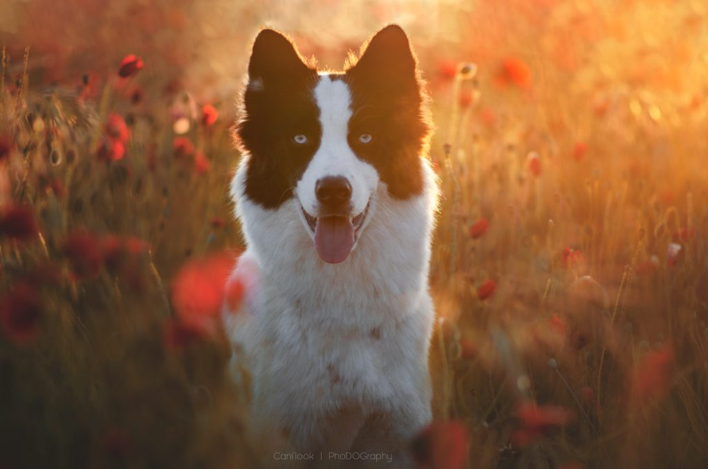 sunset sunrise lever de soleil chien laika de yakoutie photographe canin cani look