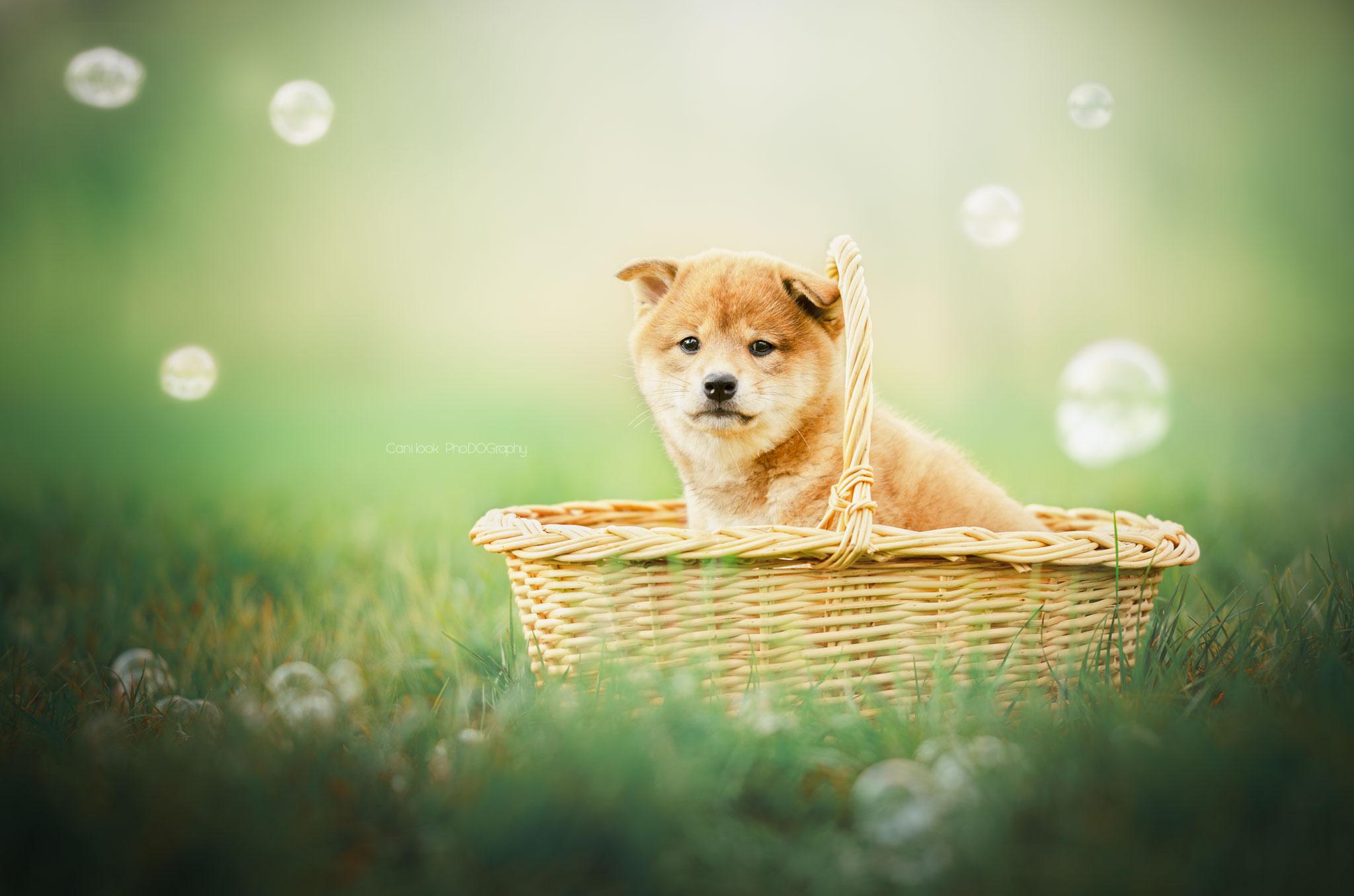 shiba inu chiot photographe canin cani'look phodography yvelines bulles