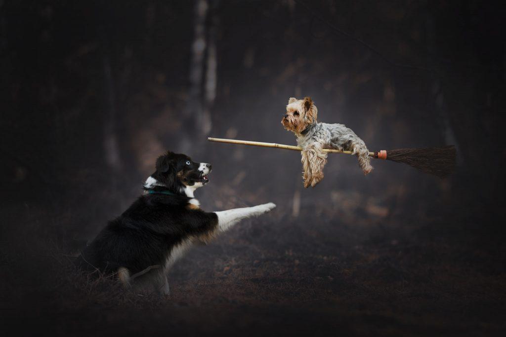 Chiens magie foret nikon photographe canin cani'look berger australien yorkshire balai