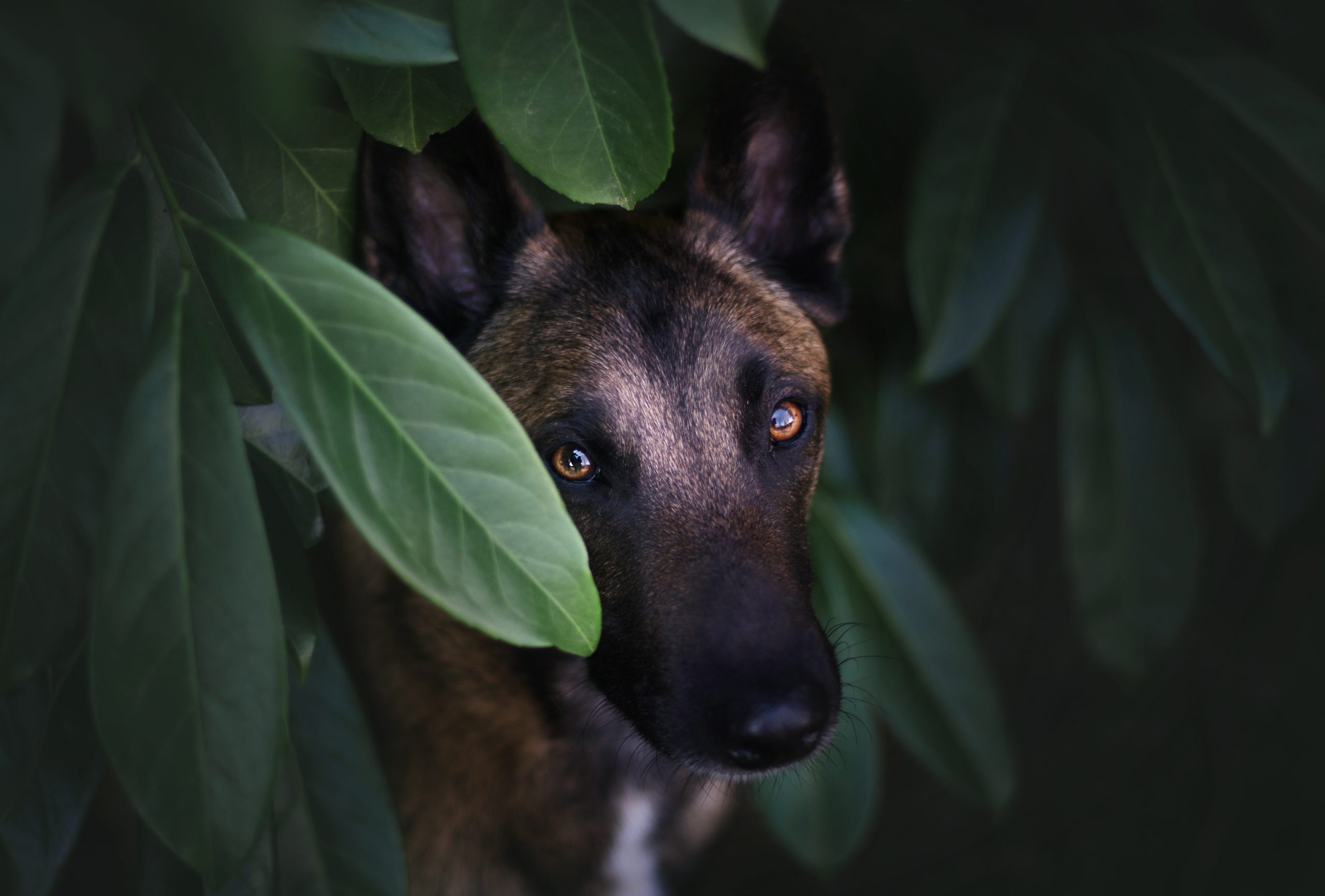 Chien photographe canin portrait cani look malinois foret lumiere yvelines
