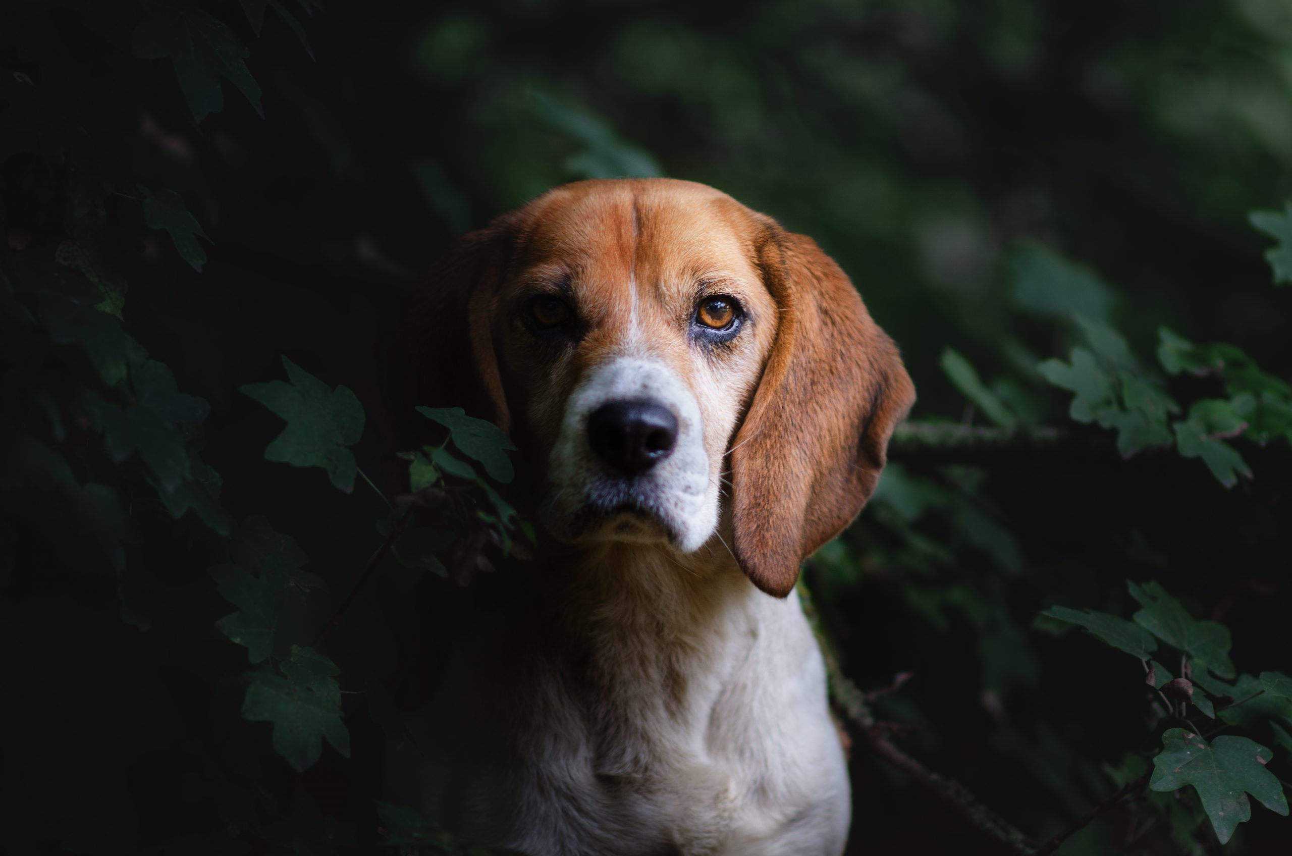 Beagle chien photographie art photographe canin arbres clair obscur Cani look PhoDOGraphy