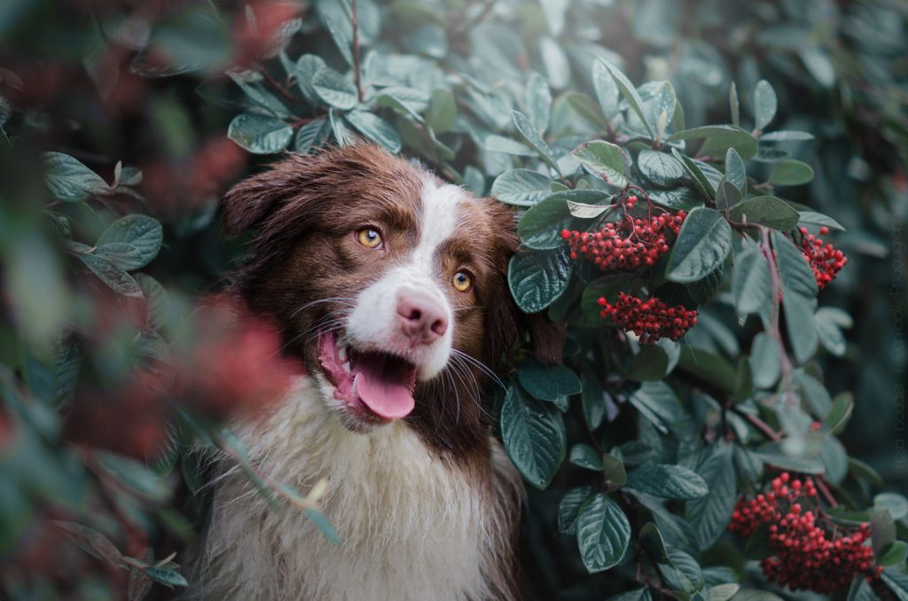 berger australien chien content joyeux arbuste fleurs photographe canin cani'look cnai look