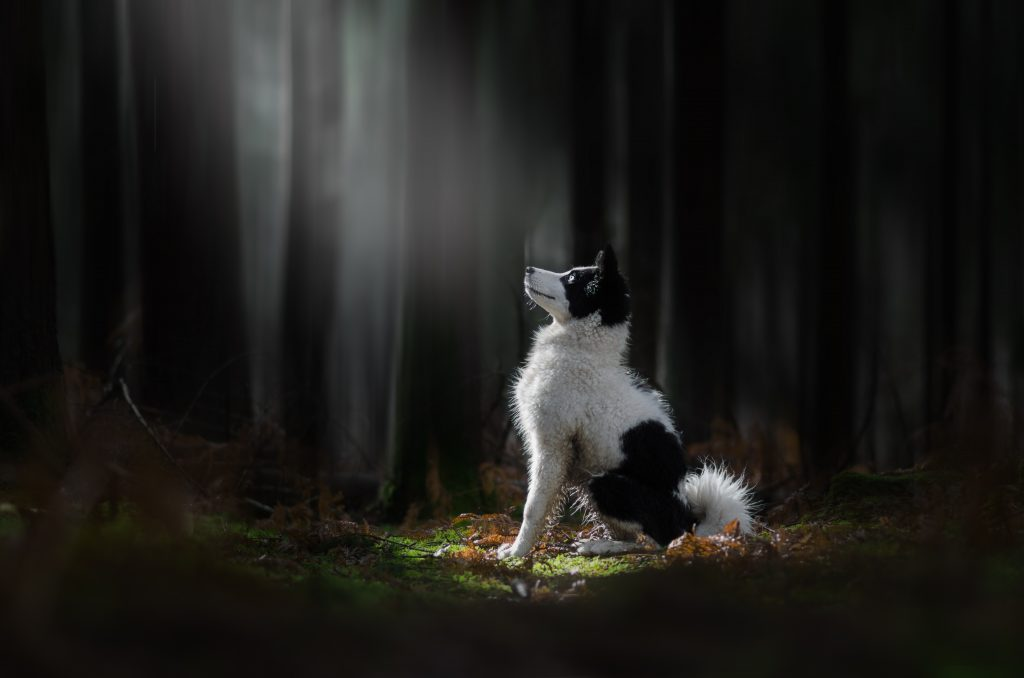 chien lumière light laika de yakoutie photographe canin cani'look foret fougeres mousse