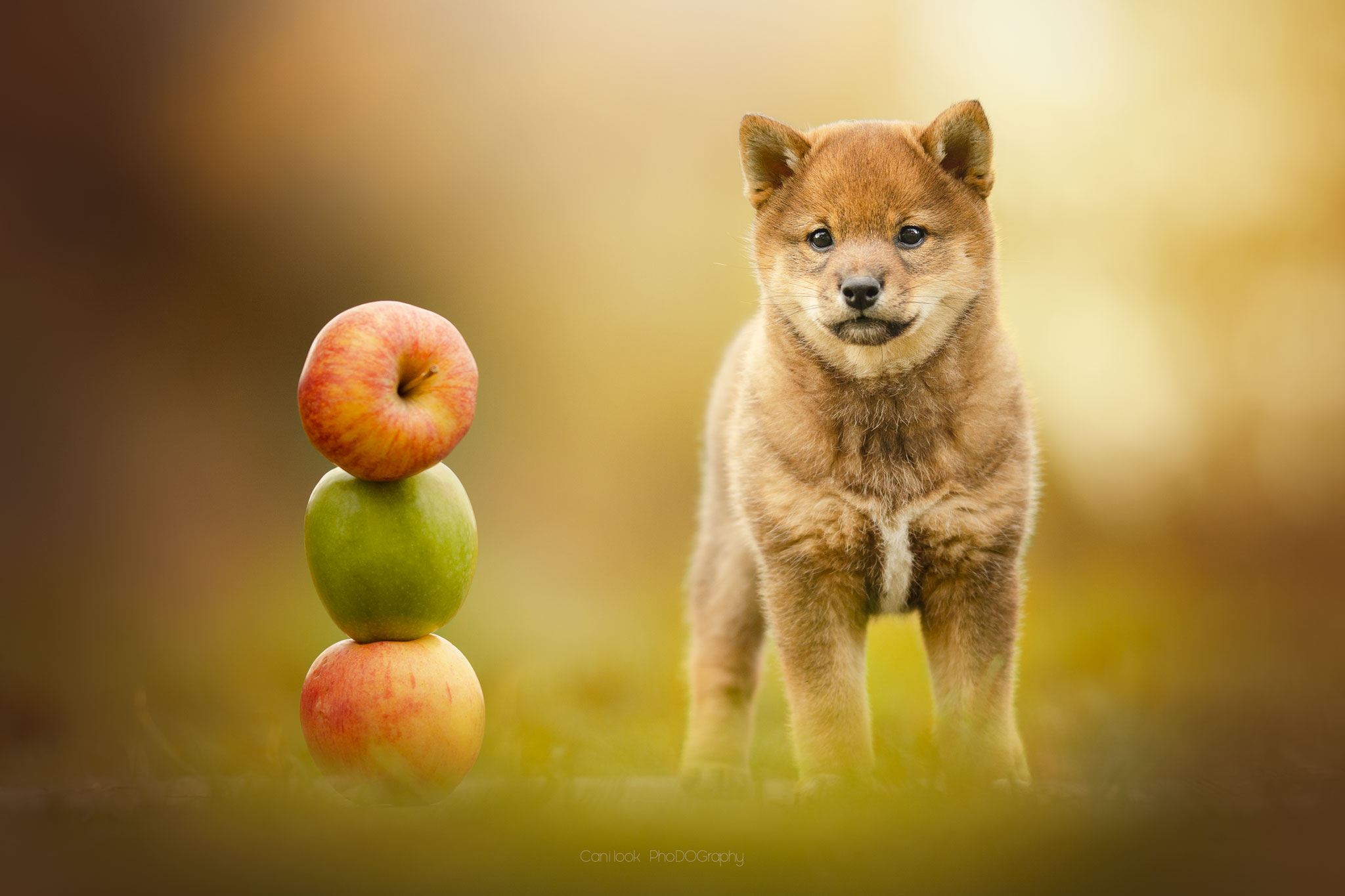 Chien chiot pommes shiba inu photographe canin portrait cani look