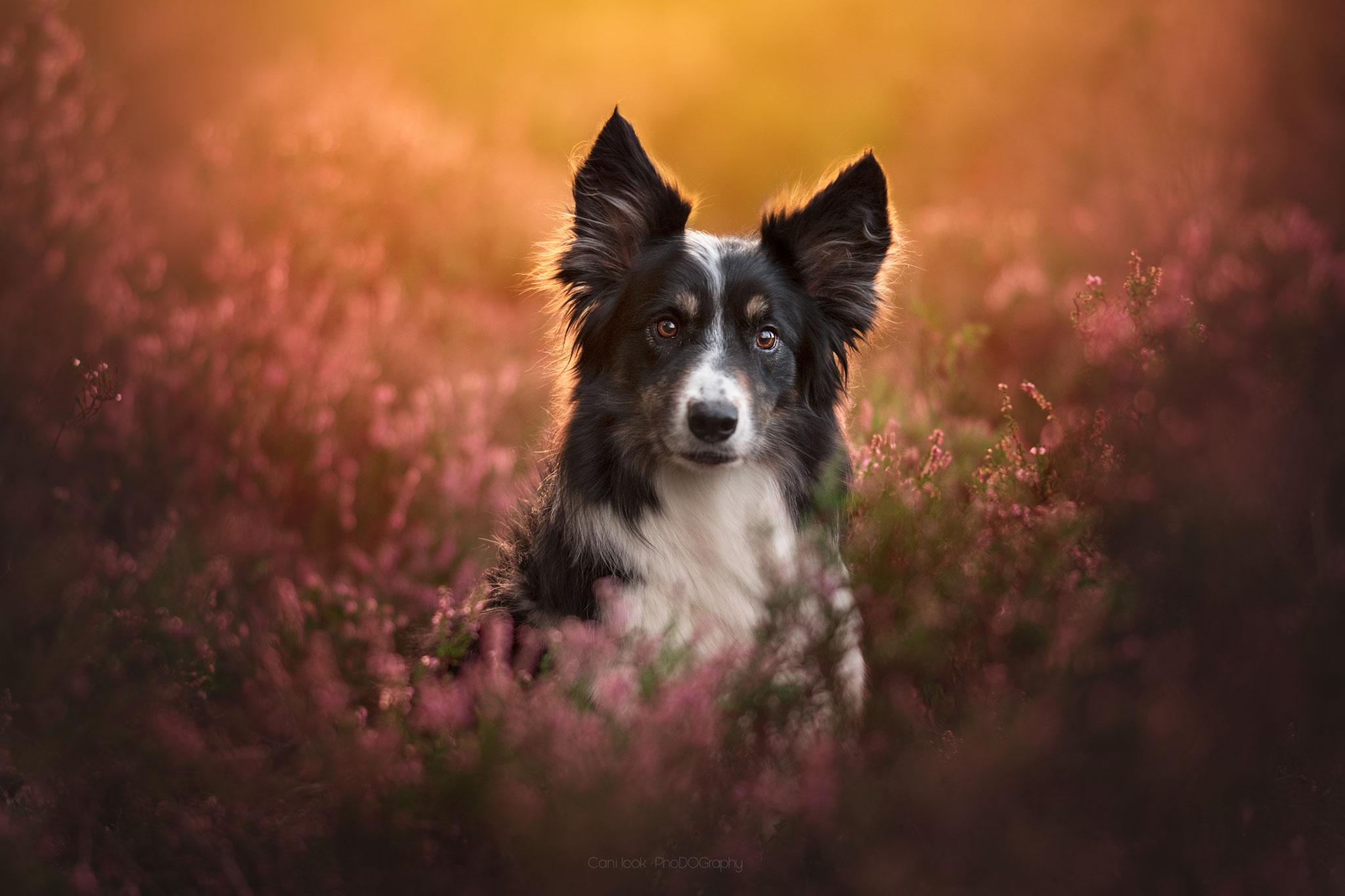 Border collie bruyeres Chien photographe canin portrait cani look