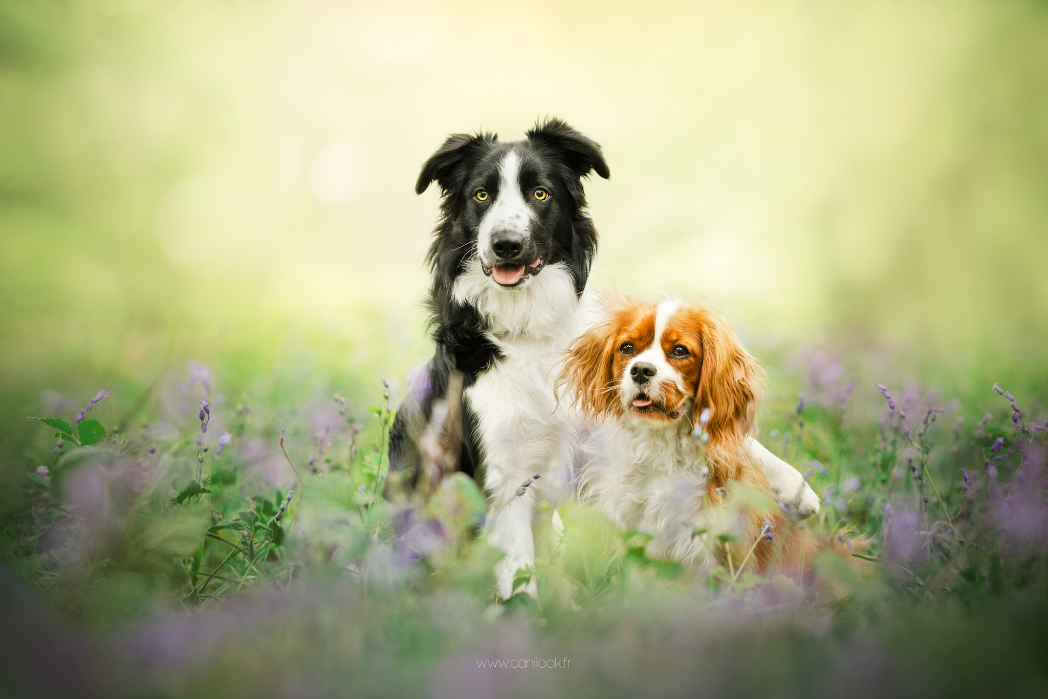 chien photographe canin yvelines jacinthes rambouillet cani look