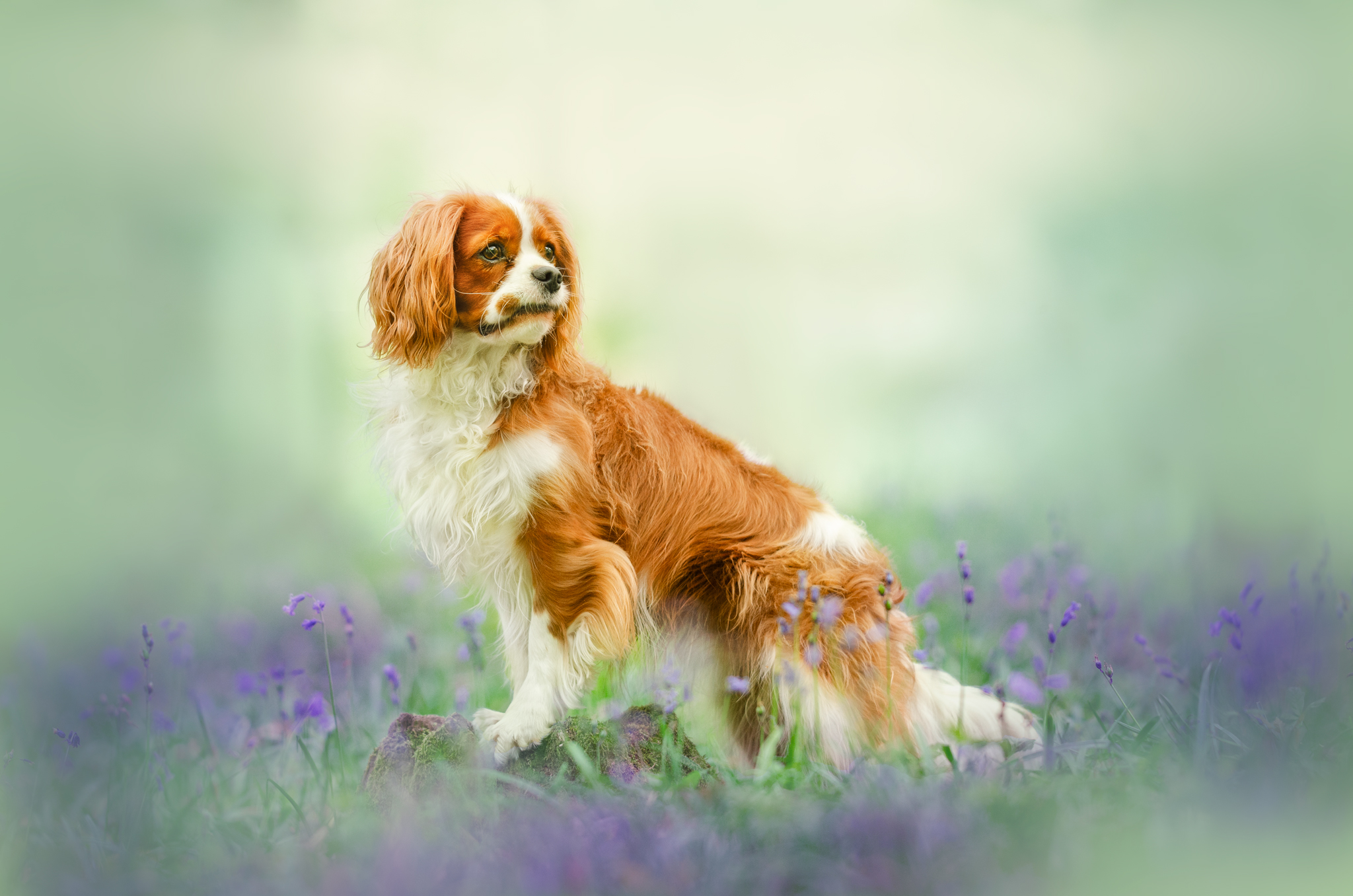 Chien photographe canin portrait cani look cavalier king charles
