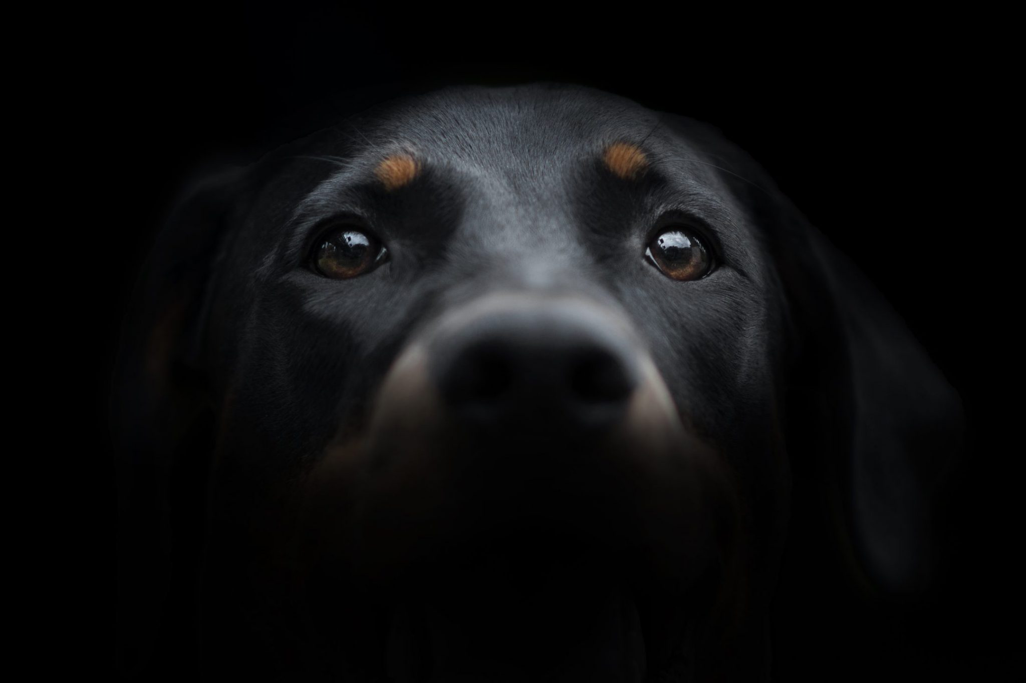 doberman cani'look photographe yvelines normandie chien canin